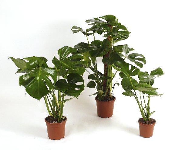 blute an lteren pflanzen erscheinen manchmal reinweisse bl ten die nach ananas duften und. Black Bedroom Furniture Sets. Home Design Ideas